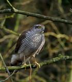 Sparrow Hawk by biffobear, photography->birds gallery