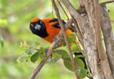 Orange Backed Troupial 2 by jeenie11, photography->birds gallery