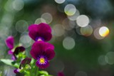 Pansy in Front of Fountain by kanapon, Photography->Flowers gallery