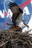 Kennedy Wildlife: Osprey by philcUK, photography->birds gallery