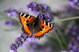 Little Fox by rozem061, photography->butterflies gallery