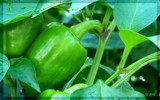 Green Peppers by BossCamper, photography->gardens gallery