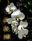White Orchids by PatAndre, photography->flowers gallery