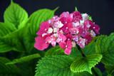 Hydrangea by elektronist, photography->flowers gallery