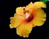 Golden Hibiscus by CDHale, photography->flowers gallery