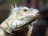 Iguana (close-up) by gbo911, Photography->Reptiles/amphibians gallery