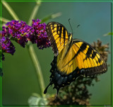 The Eastern Tiger Swallowtail (Pterourus glaucus) #2 by tigger3, photography->butterflies gallery