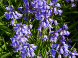 Spanish Bluebells by trixxie17, photography->flowers gallery
