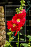 Hollyhock by corngrowth, photography->flowers gallery