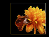Glowing Tagetes by MarianaEwa, Photography->Flowers gallery