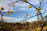 Golden Apples by Silvanus, photography->nature gallery