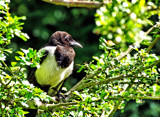 Young Magpie by biffobear, photography->birds gallery