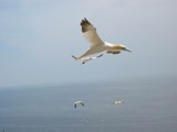 Fou de bassan by Vimar, photography->birds gallery