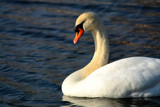 Leave Sleepy Swans Alone by tigger3, Photography->Birds gallery