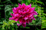 Dahlia Show 74 by corngrowth, photography->flowers gallery
