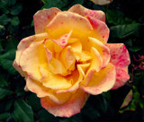 Yellow Rose With Pink 17 by gandarva, photography->flowers gallery