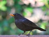 Blackbird by braces, Photography->Birds gallery