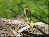 Spring Bud by Jimbobedsel, photography->nature gallery