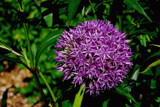 Flower Explosion - Purple by braces, Photography->Flowers gallery