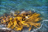 Swirling Kelp by LynEve, photography->nature gallery