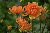 Fresh Dahlias by Ramad, photography->flowers gallery