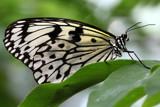 Paper Kite by Paul_Gerritsen, Photography->Butterflies gallery