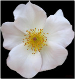 Rose White by ccmerino, photography->flowers gallery