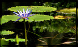 Lilly Pad by Foxfire66, Photography->Flowers gallery