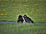 Ravens in Love by Pjsee16, photography->birds gallery