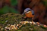 Nuts by biffobear, photography->birds gallery