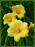 DayLillies by ccmerino, photography->flowers gallery