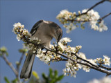 Mockingbird welcomes Spring at the Houston Zoo by Anita54, Photography->Birds gallery