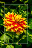 Dahlia Show 49 by corngrowth, photography->flowers gallery