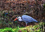 Gotcha !! by biffobear, photography->birds gallery