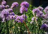 Air Station Prairie - Wild Allium by trixxie17, photography->flowers gallery