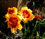 Sunny Lilies by trixxie17, photography->flowers gallery
