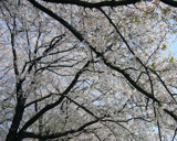 Cherry blossoms 2009 by dojum, Photography->Flowers gallery