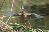 Green Heron by garrettparkinson, photography->birds gallery