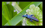 Blue Bug by kodo34, Photography->Insects/Spiders gallery