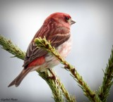 Purple finch by GIGIBL, photography->birds gallery