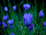 Fresh Chives by jesouris, Photography->Flowers gallery