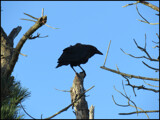 Art Thou A Crow? by Pjsee16, photography->birds gallery