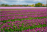 Zeeland Tulip Fields 5 by corngrowth, photography->flowers gallery
