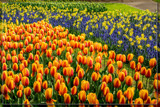 Keukenhof 16 by corngrowth, photography->flowers gallery