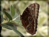 Butterfly Twenty Four by Jimbobedsel, Photography->Butterflies gallery