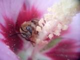 Wasp by killahsting, photography->macro gallery