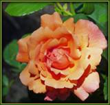 Orange You Glad It's Friday! by trixxie17, Photography->Flowers gallery