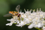 Another Hoverfly Photo From MJ by MJsPhotos, photography->insects/spiders gallery
