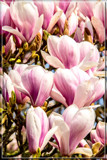 Magnolia by corngrowth, photography->flowers gallery