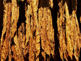 Tobacco Drying by ccmerino, Photography->Nature gallery